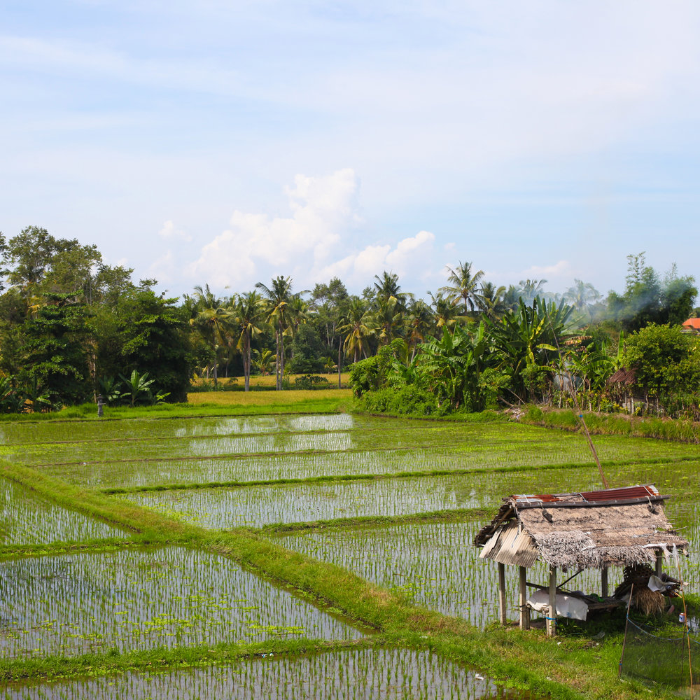 RicePaddy1.jpg