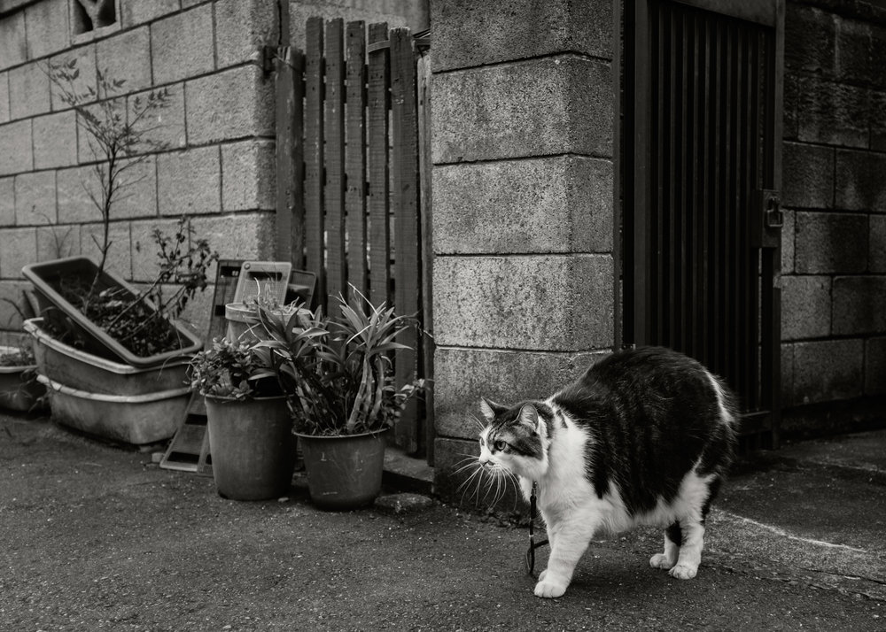 Cat on Leash, Zushi, 2016