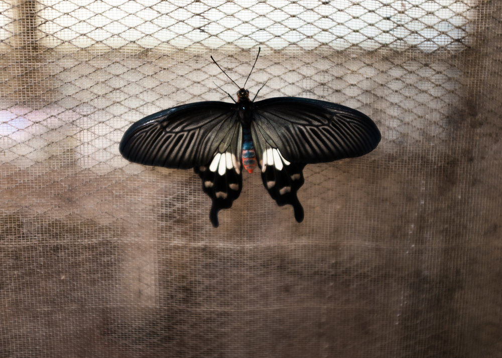 Butterfly, Cambodia, 2015