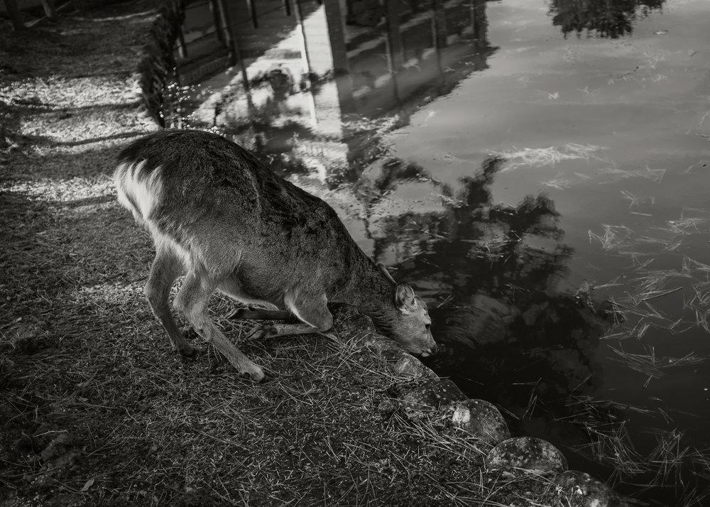 Sacred Deer, Nara, 2017