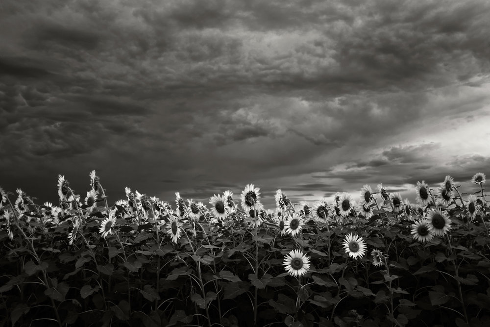Sunflower Field, Kurihara, 2015