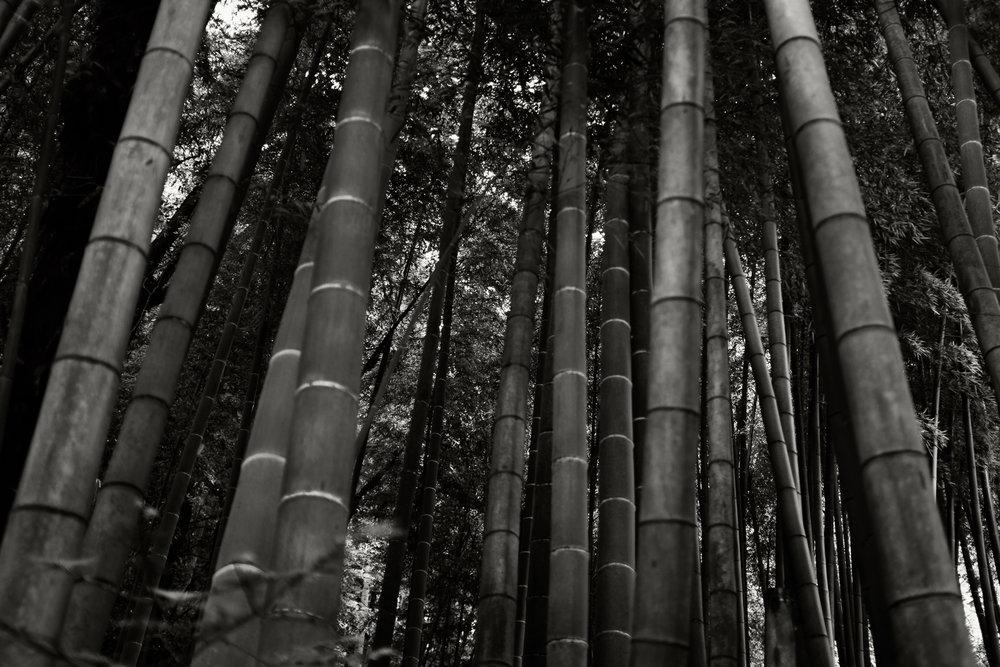 Bamboo, Kamakura, 2015