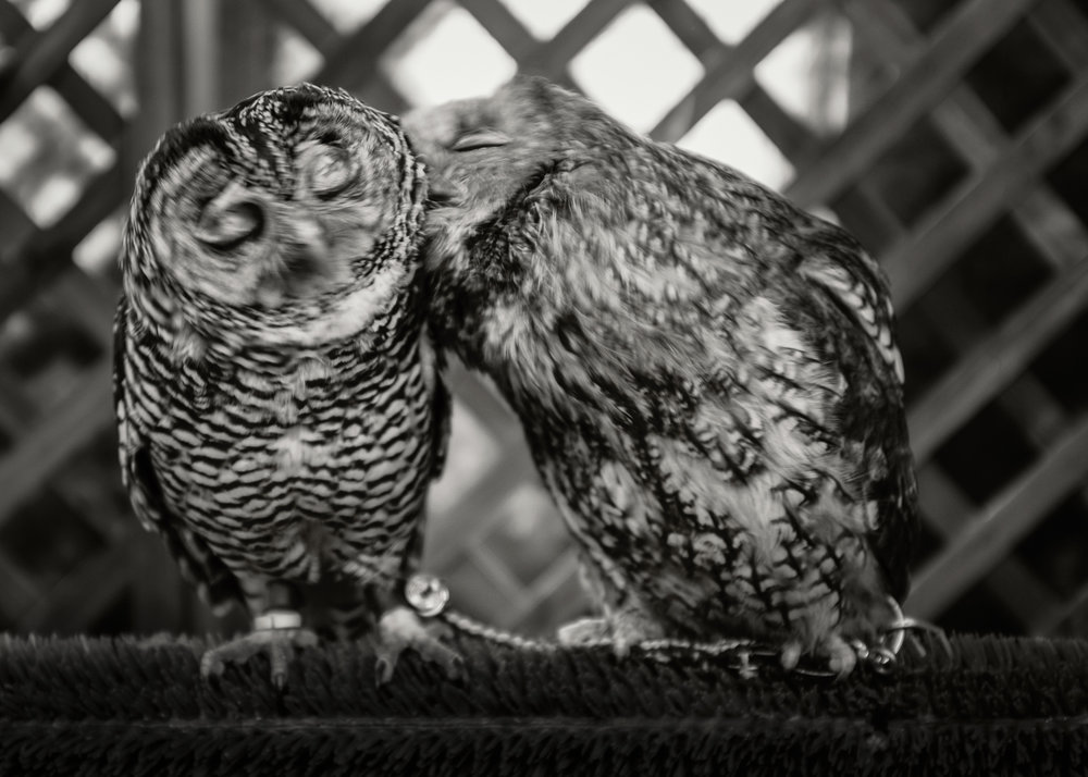 KISSING OWLS, JAPAN