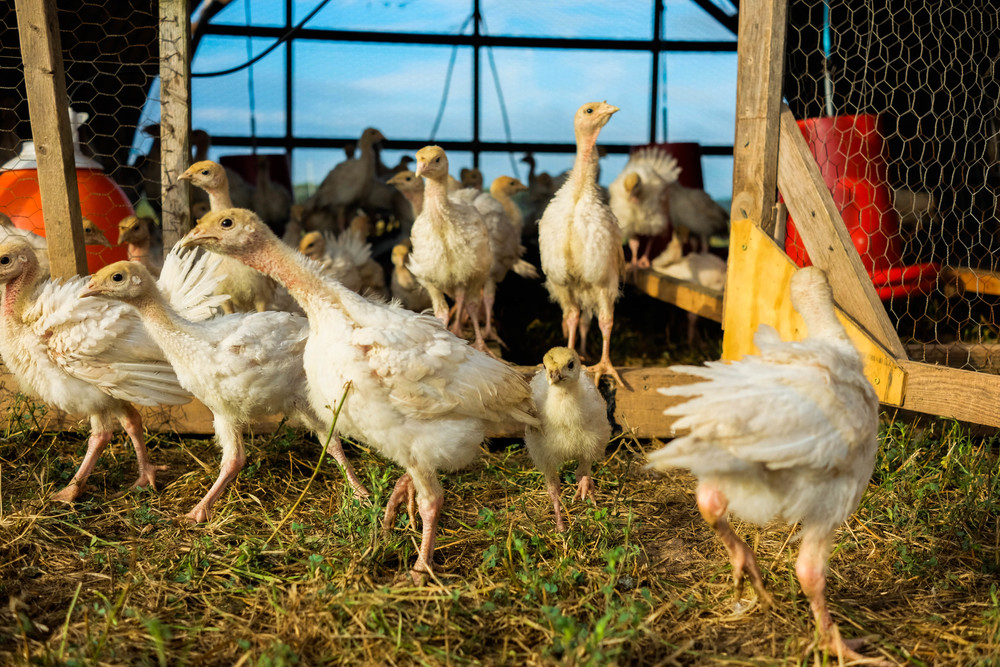 Free range turkeys excitedly meeting a new day at Lima Family Farms. Photo by Derek Vaughan Brown