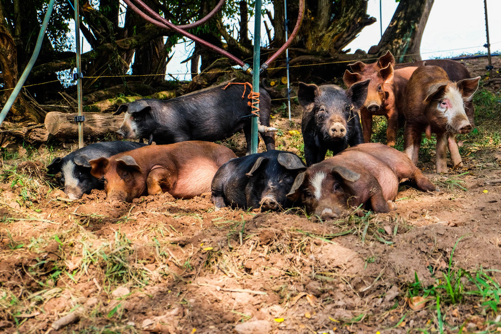 "Cute little ""chanchis"" at Lima Family Farms. Photo by Derek Vaughan Brown"