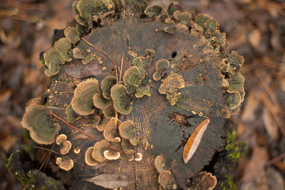 mushrooms on a tree stump :: december 2015