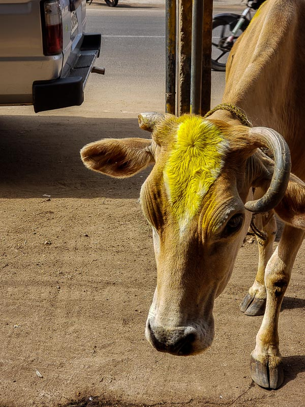 Favorite photo of the Day.  January 15, 2019 - Party Cow! The Depth 'n Green cow, freshly bathed in turmeric and wearing a garland. Hey, girl. Moo.