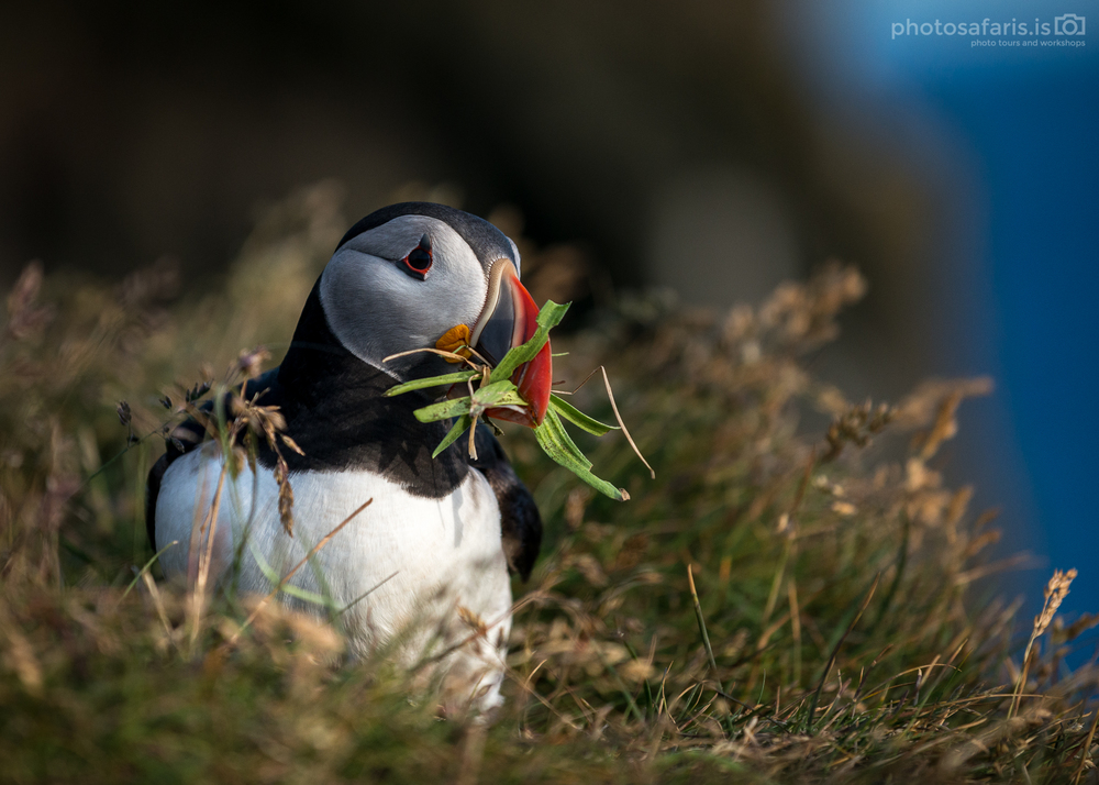 Puffin at Látrabjarg bird cliffs