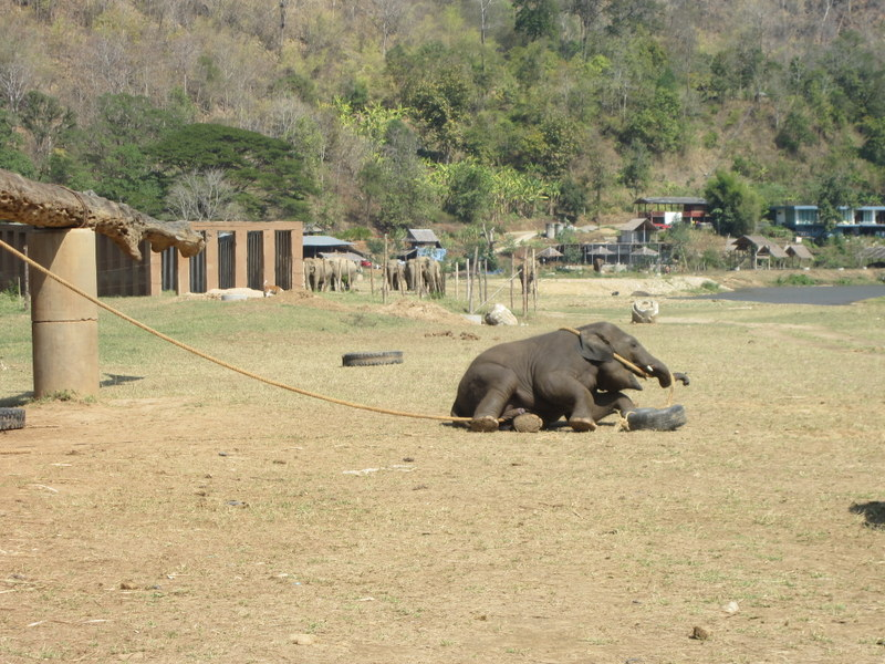 Elefantenjunges beim Spielen