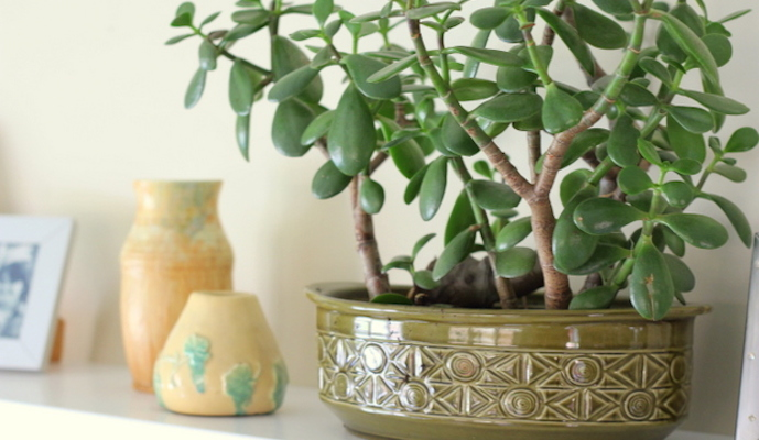 Jade plant is your perfect pick for the office premises as it attracts prosperity and money.