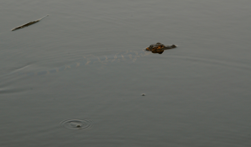 One of our kayaking friends in the East Cooper river.