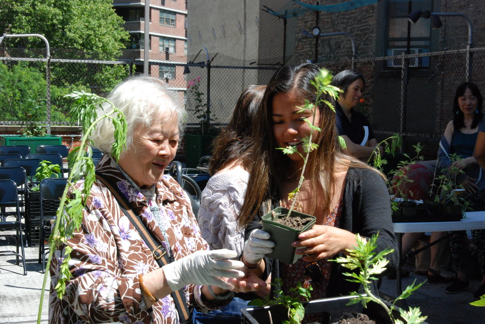 Summer 2018 Intern Juvi works with a Chinese elder to plan medicinal herbs at the Educational Alliance at Mary Ting's June Workshop
