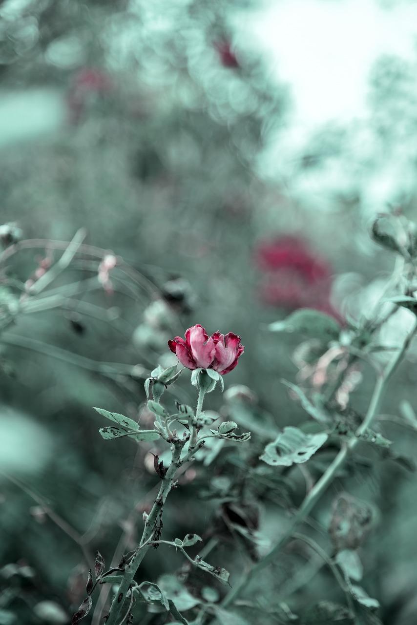 rose-2781034_1280.jpg