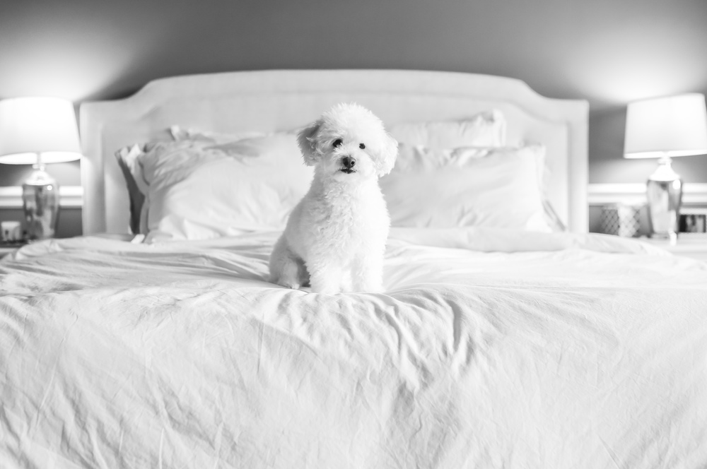 cute white fluffy poodle
