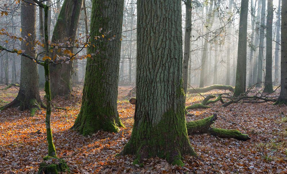 Forêt chêne 6.jpg