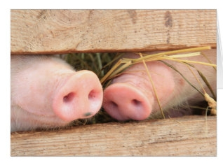 """A pig has a plow on the end of its nose because it does meaningful work with it.""  Author Joel Salatin, American Farmer and author of The Marvelous Pigness of Pigs."