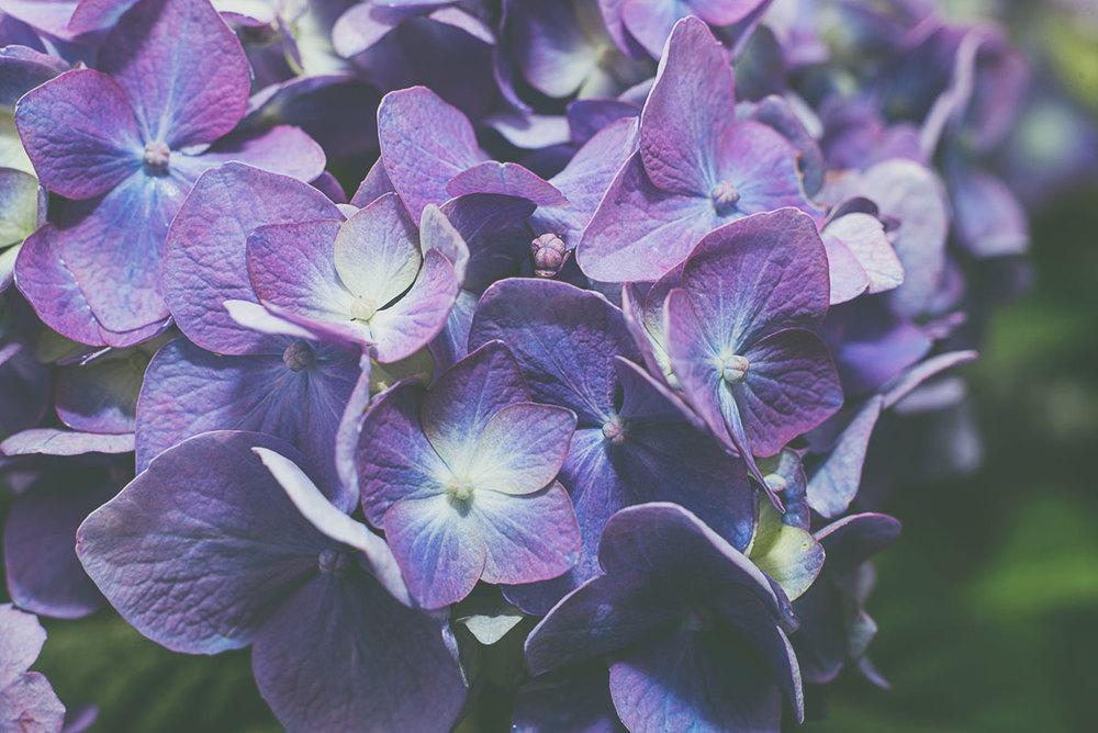hydrangea5.jpg
