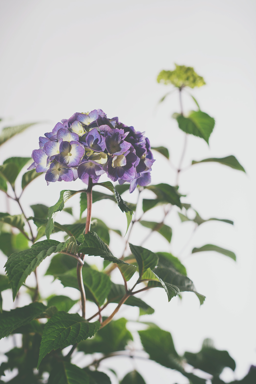 hydrangea8.jpg