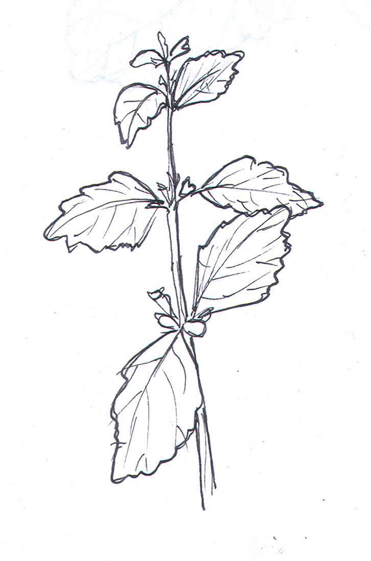 how to grow lemon balm herb