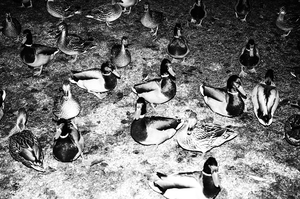 ducks_L1016942_BW_JPEG_REMYEIK.jpg