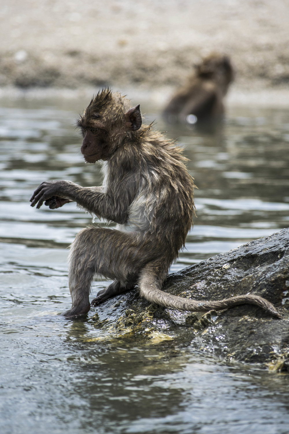 A young macaque goes for a swim