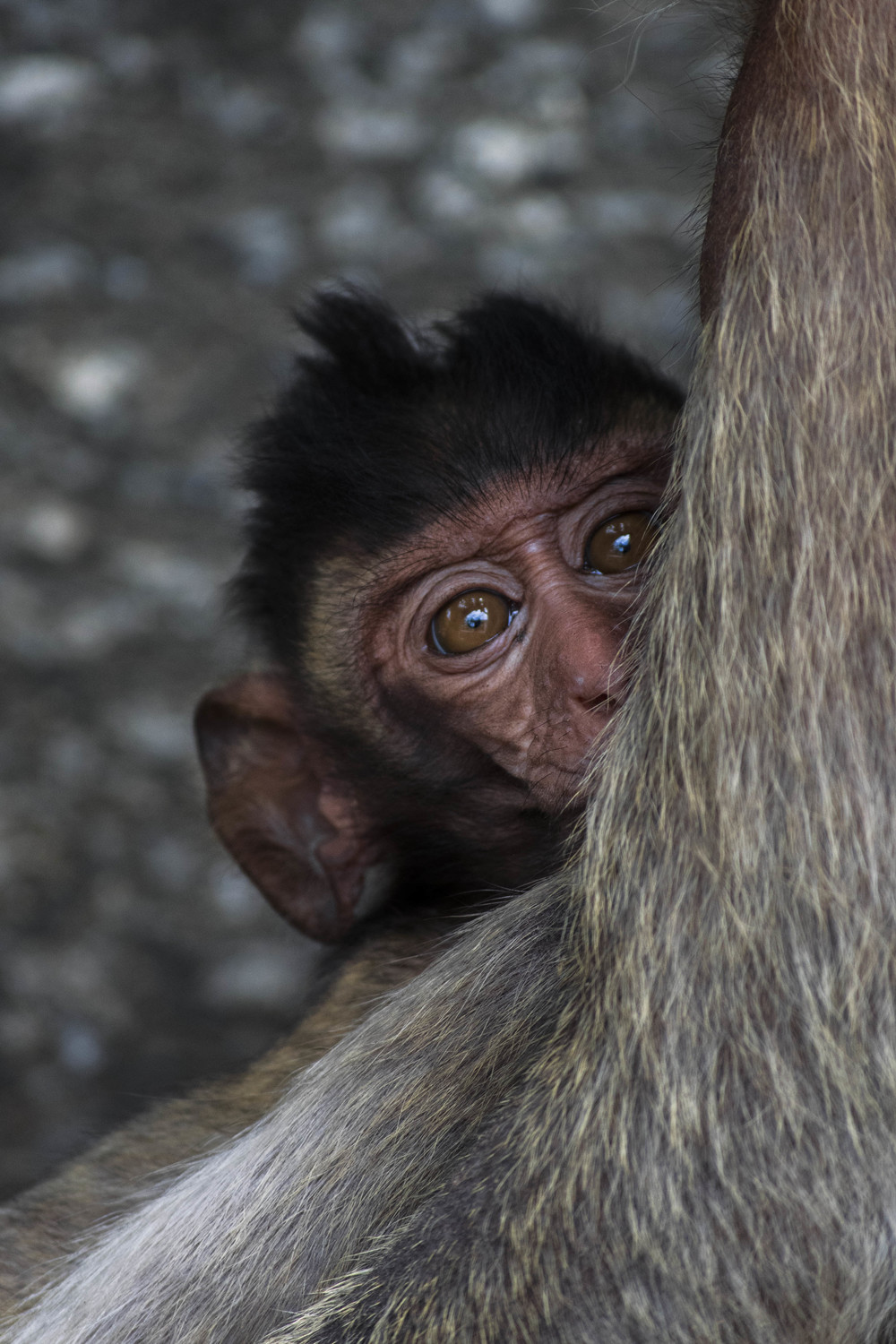 A baby macaque hides behind its mother