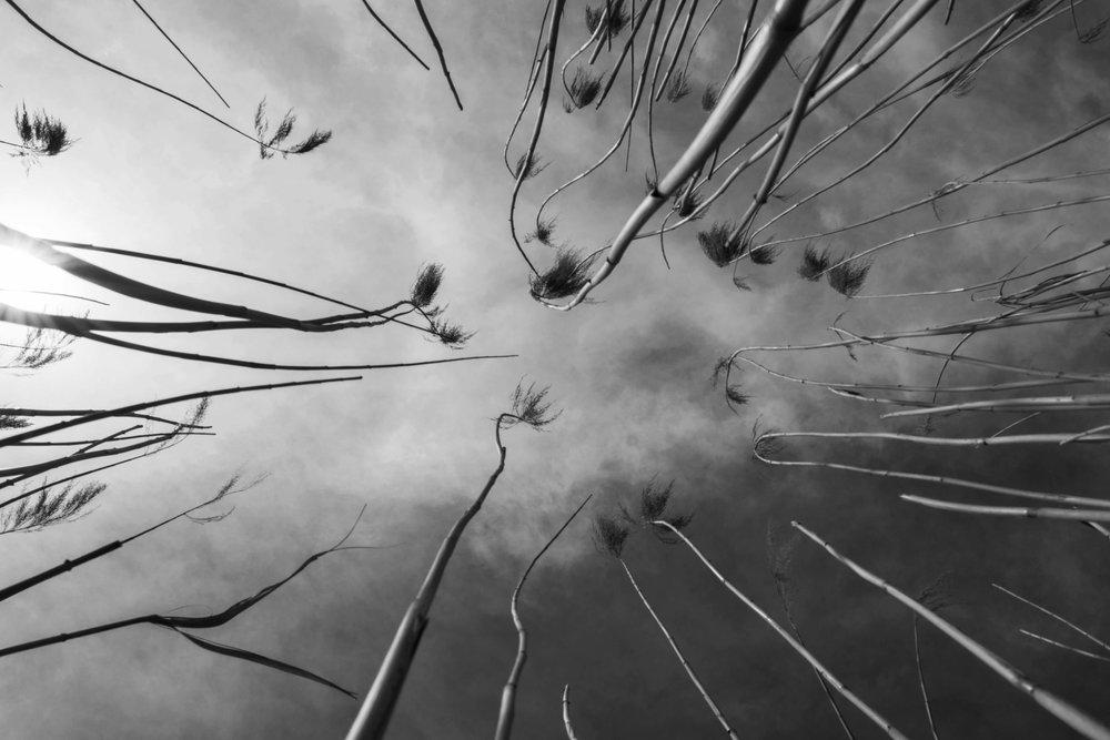 Tall Reeds #2