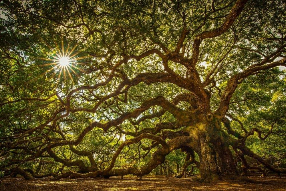 Angel Oak - The Hera Forest