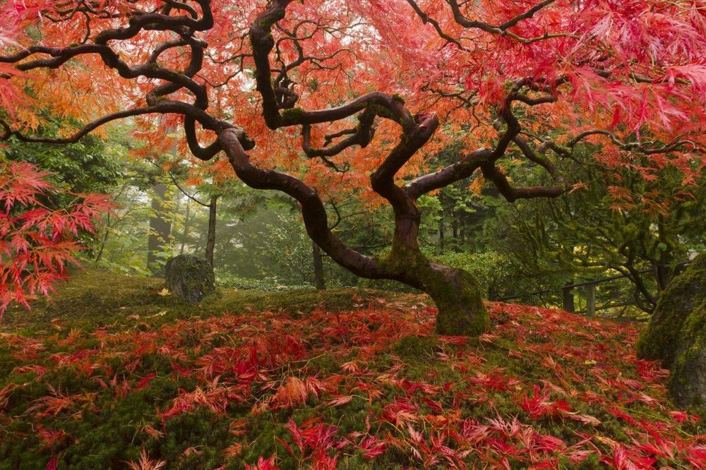 Japanese Maple Tree - The Hera Forest