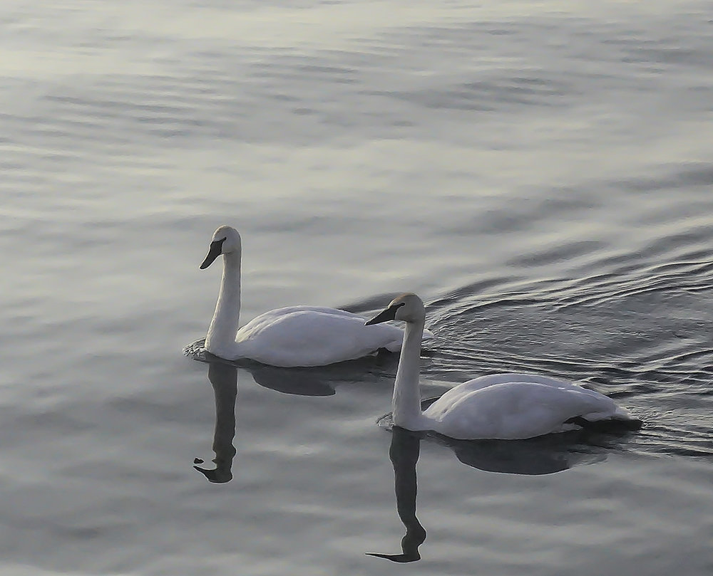 Swan Couple (photography)