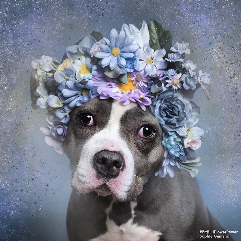 Charlotte's #PitbullFlowerPower portrait by Sophie Gamand