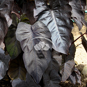 Colocasia Royal Hawaiian Black Coral