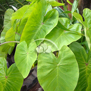 Colocasia Royal Hawaiian Maui Gold