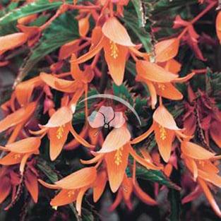 Begonia Bonfire®