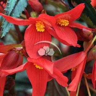 Begonia Mistral™