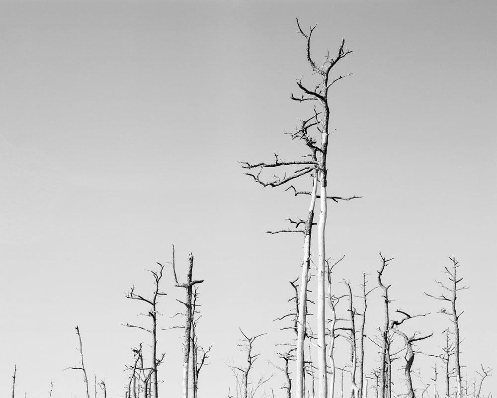Deceased coastal longleaf pines.