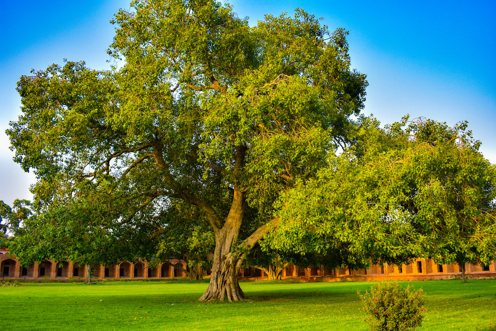 An enormous tree in the courtyard of Jahangir's Tomb.