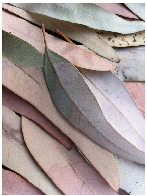 pastel gum leaves