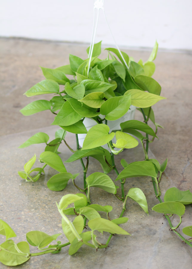plantspothosmoonlight.jpg