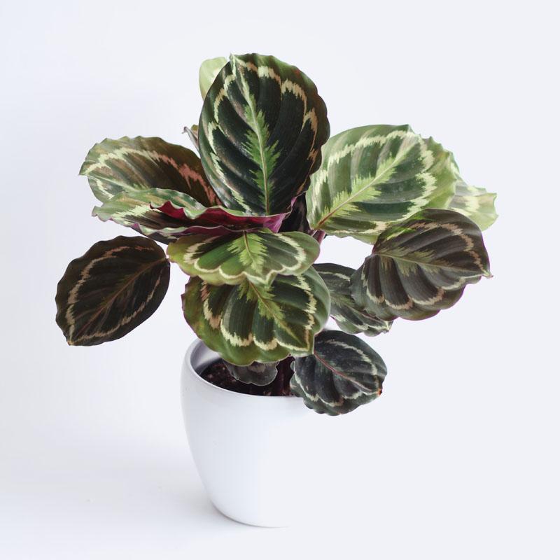 plantcalatheamedalion.jpg