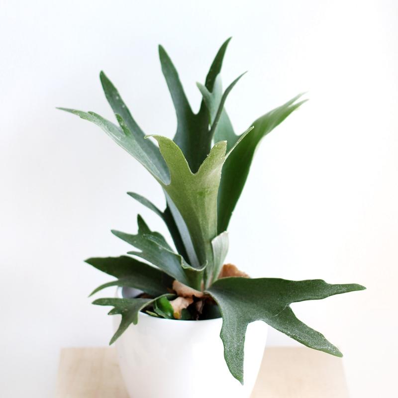 plantstaghornfern1.jpg