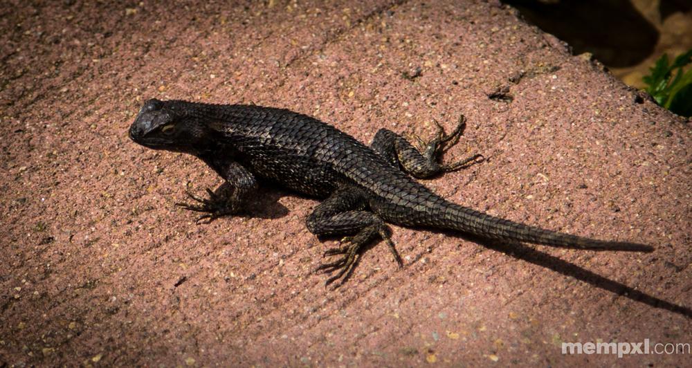 Balboa Park Lizard 2014 WM.jpg