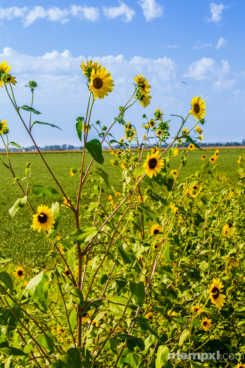 Wild Sunflowers 2014 WM.jpg
