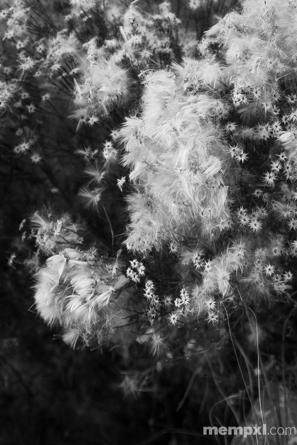 Feathered seeds BW 2014 WM.jpg