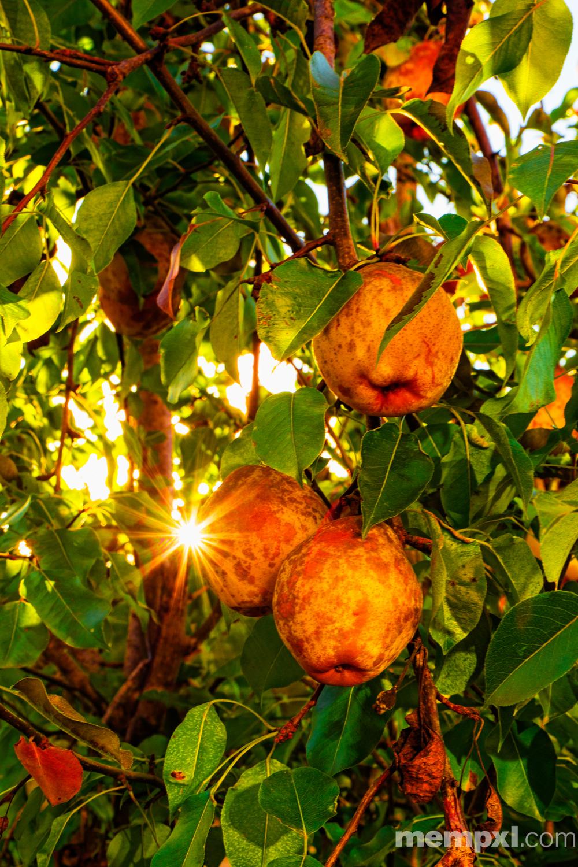 Pears Fall 2014 WM.jpg