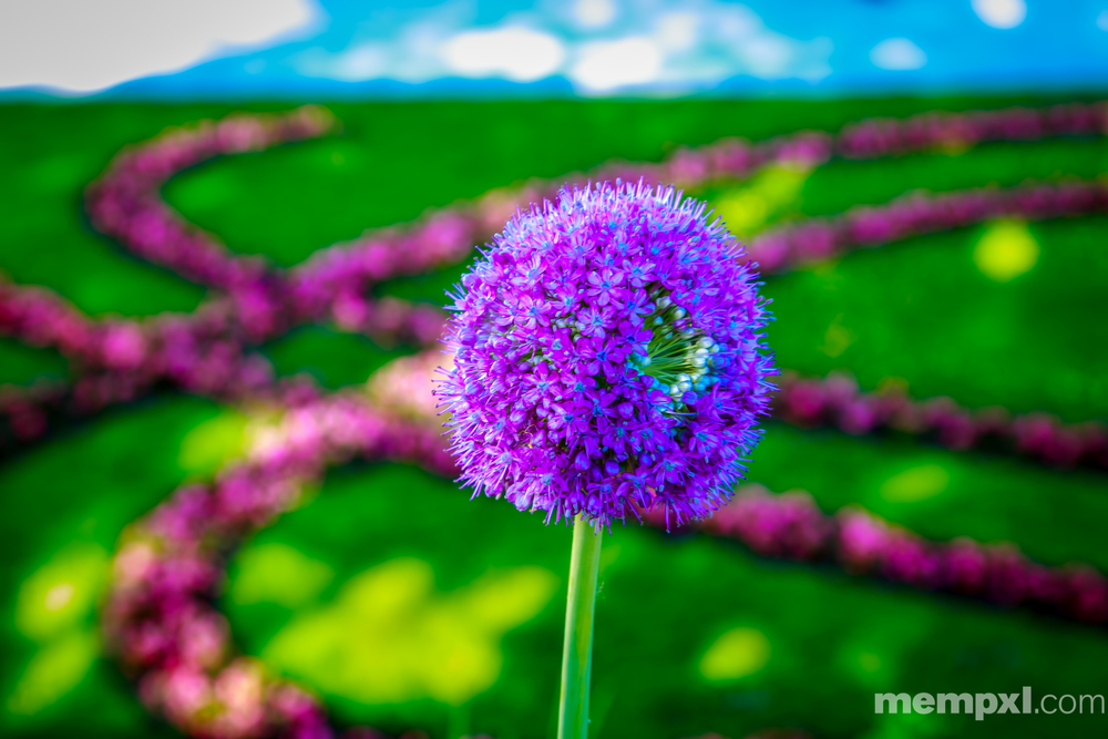 Blue n Purple flower Salzburg 2014 WM.jpg