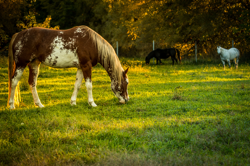 Grazing in the Golden Hour.jpg