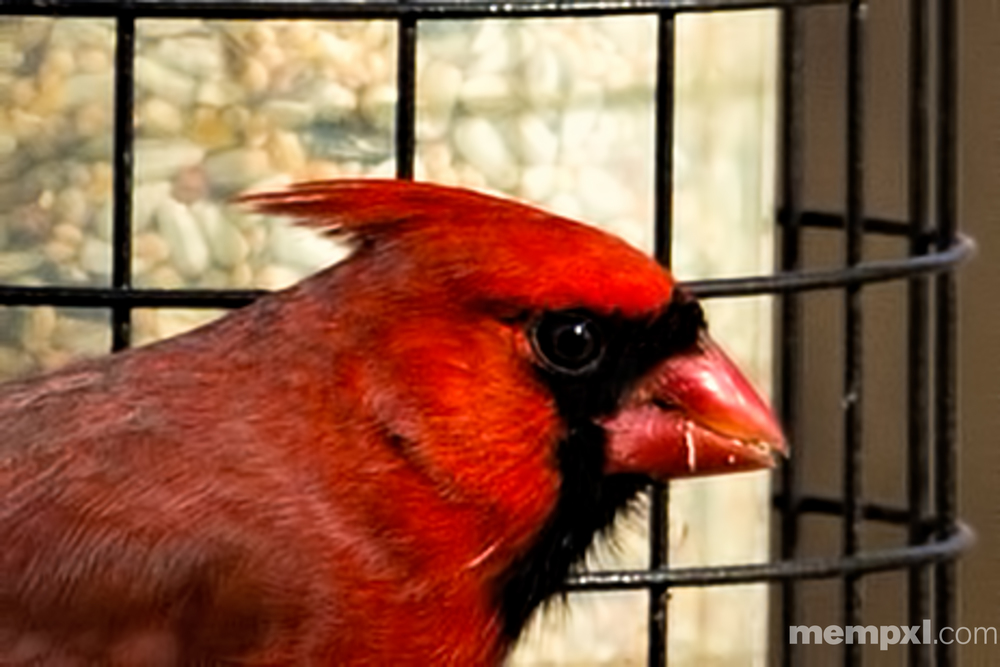 Face of a Male Cardinal 2015 WM.jpg
