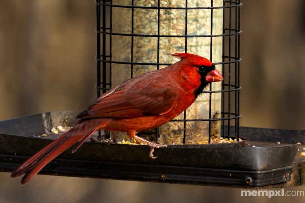 Male Cardinal 2015 WM.jpg