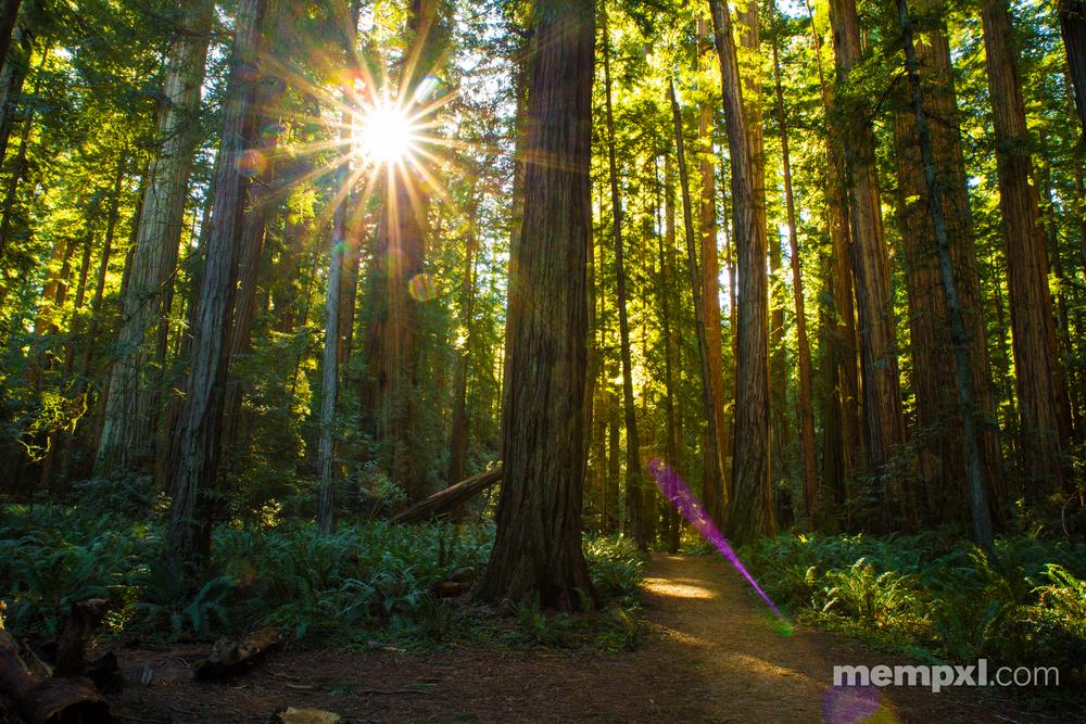 Redwoods - 2015
